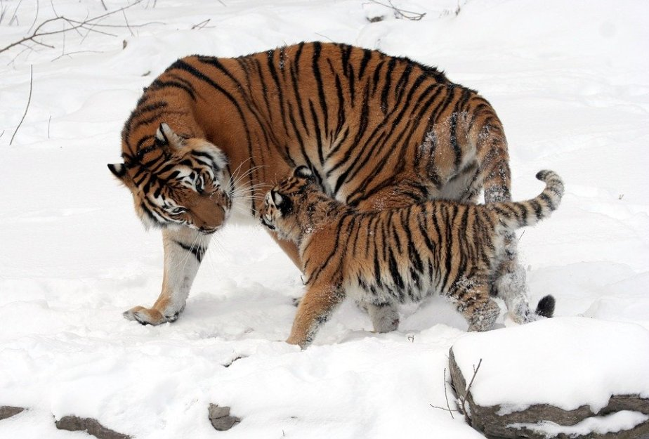 July 29th International Tiger Day